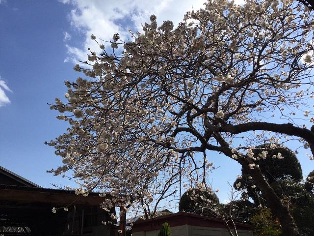 桜満開と3連休のサーフィンスクール